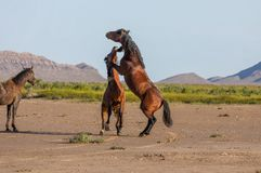 Pair of Wild Horse Stallions Fighting. A pair of wild horse stallions fighting in the Utah desert in spring royalty free stock photography