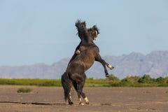 Pair of Wild Horse Stallions Fighting in Utah. A pair of wild horse stallions fighting in the Utah desert in spring stock photo