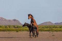 Pair of Wild Horse Stallions Fighting. A pair of wild horse stallions fighting in the Utah desert in spring stock image