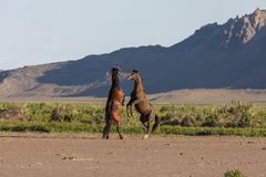 Pair of Wild Horse Stallions fighting. A pair of wild horse stallions fighting in the Utah desert in spring stock photos