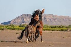 Pair of Wild Horse Stallions Fighting in Utah. A pair of wild horse stallions fighting in the Utah desert in spring stock image