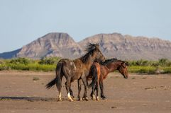 Wild Horse Stallions Fighting in Utah. A pair of wild horse stallions fighting in the Utah desert in spring royalty free stock photos