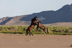 Wild Horse Stallions Fighting in Utah. A pair of wild horse stallions fighting in the Utah desert in spring stock photo