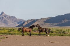 Wild Horse Stallions Sparring in Utah. A pair of wild horse stallions fighting in the Utah desert in spring royalty free stock photography