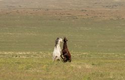 Wild Horse Stallions Fighting in Summer. A pair of wild horse stallions fighting in the Utah desert royalty free stock images