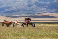 Wild Horse Stallions Fighting in Utah. A pair of wild horse stallions fighting in the Utah desert stock photos