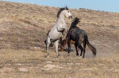 Wild Horse Stallions Fighting in the Utah Desert. A pair of wild horse stallions fighting in the Utah desert royalty free stock photo