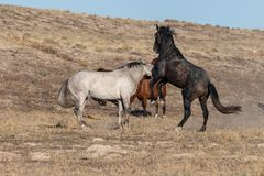Wild Horse Stallions Fighting in the Utah Desert. A pair of wild horse stallions fighting in the Utah desert royalty free stock image