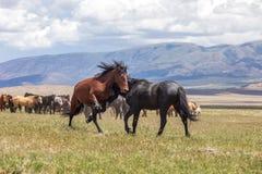 Wild Horse Stallions Sparring in the Utah Desert. A pair of wild horse stallions fighting in the Utah desert stock images