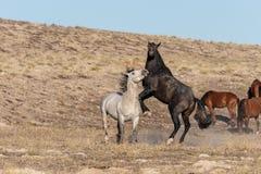 Wild Horse Stallions in the Utah Desert. A pair of wild horse stallions fighting in the Utah desert stock photos