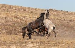 Wild Horses Fighting in the Utah Desert. A pair of wild horse stallions fighting in the Utah desert royalty free stock photos