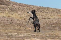 Wild Horses Fighting in the Utah Desert. A pair of wild horse stallions fighting in the Utah desert royalty free stock image