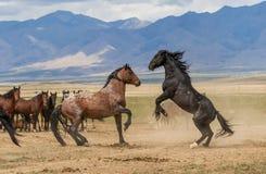 Pair of Wild Horse Stallions Fighting in Utah. A pair of wild horse stallions fighting in the Utah desert royalty free stock photography