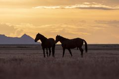 Pair of Wild Horses Silhouetted at Sunset. A pair of wild horse stallions silhouetted in a beautiful Utah desert sunset Royalty Free Stock Images