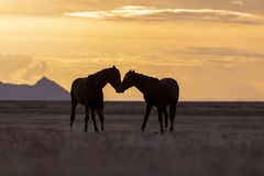 Wild Horse Stallions at Sunset. A pair of wild horse stallions silhouetted in a beautiful Utah desert sunset Royalty Free Stock Photography
