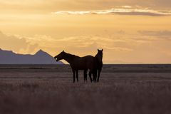 Wild Horses Silhouetted at Sunset. A pair of wild horse stallions silhouetted in a beautiful Utah desert sunset Royalty Free Stock Photography