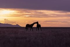 Wild Horse Stallions in a Desert Sunset. A pair of wild horse stallions silhouetted in a Utah desert sunset Stock Images