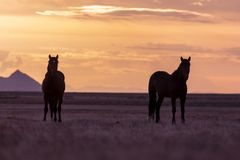 Wild Horse Stallions at Sunset in Utah. A pair of wild horse stallions silhouetted in a Utah desert sunset Stock Photo