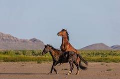 Pair of Wild horse Stallions Sparring in the Desert. A pair of wild horse stallions fighting in the Utah desert in spring royalty free stock image