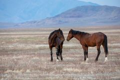 Pair of Wild Horse Stallions in the Desert. A pair of wild horse stallions  in the Utah desert Royalty Free Stock Photos