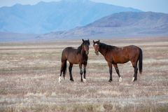 Pair of Wild Horse Stallions in the Desert. A pair of wild horse stallions  in the Utah desert Stock Image