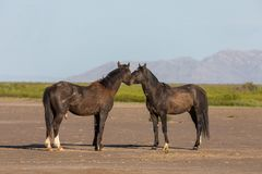 Pair of Wild Horse Stallions in Utah. A pair of wild horse stallions in the Utah desert in spring stock photography