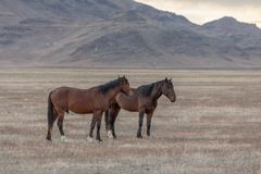 Wild Horse Stallions. A pair of wild horse stallions  in the Utah desert Royalty Free Stock Images