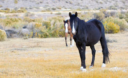 Pair of Wild Horses Stock Photo