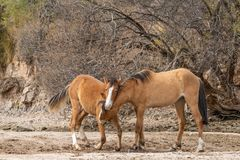 Wild Horses Fighting in the Arizona Desert Royalty Free Stock Photos