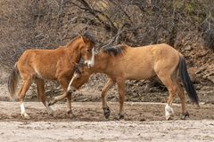 Pair of Wild Horses Fighting in the Desert Stock Images
