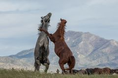 Pair of Wild Horses Fighting. A pair of wild horse stallions fighting in the Utah desert in summer stock photography