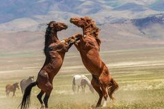 Pair of Wild Horses Fighting in Summer stock image