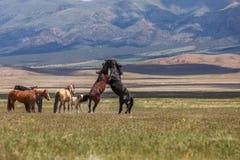 Pair of Wild Horses Fighting in Utah. A pair of wild horse stallions fighting in the Utah desert stock images