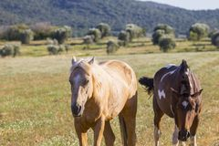 Pair of wild horses grazing in the Maremmana countryside. In Tuscany stock photography