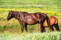 Pair of wild horses grazing on summer meadow Stock Image