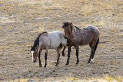 Pair of Wild Horses Interacting Stock Images