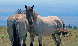 Pair of Wild Horses on Pryor Mountain in Montana Royalty Free Stock Image