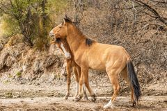 Wild Horses in the Arizona Desert Stock Photo