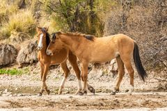 Pair of Wild Horses Sparring in the Arizona Desert Stock Image