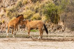 Wild Horses Sparring in the Arizona Desert Royalty Free Stock Images