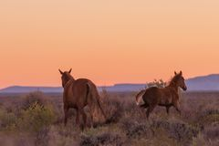 Wild Horses in a Desert Sunset stock photos