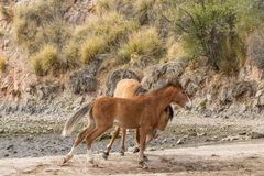 Pair of Wild Horses Sparring in the Arizona Desert Stock Image