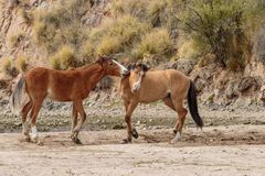 Pair of Wild Horses Sparring in the Desert. A pair of wild horses sparring near the salt river in the Arizona desert royalty free stock image
