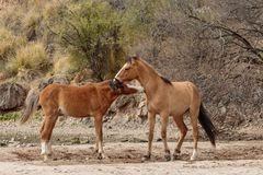 Pair of Wild horses Sparring in the Arizona Desert. A pair of wild horses sparring near the salt river in the Arizona desert royalty free stock photography