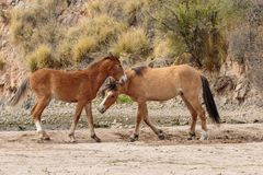 Pair of Wild Horses Fighting in the Arizona Desert. A pair of wild horses sparring near the salt river in the Arizona desert royalty free stock images