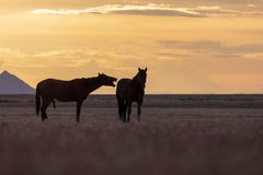 Pair of Wild Horses at Sunset. A pair of wild horse stallions silhouetted in a beautiful Utah desert sunset Stock Image