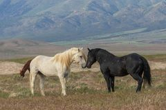 Pair of Wild Horses in Utah Royalty Free Stock Photo
