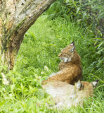 Pair of wild lynx in grass under tree resting Royalty Free Stock Images
