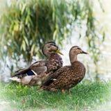 Pair of wild mallard ducks. By the pond Stock Image
