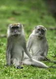 A pair of wild monkeys. Commonly found in Singapore's forested areas such as Upper Thomson road Stock Photography